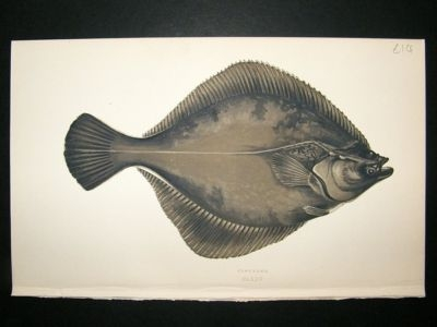 Antique Fish Print: 1869 Flounder, Couch
