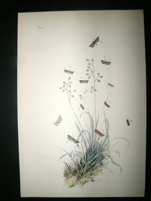 Antique Moth Print: 1860 Plate 60, Humphreys, Hand Col