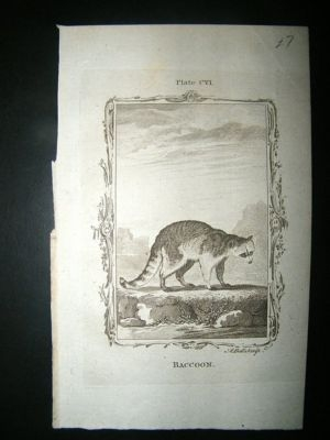 Antique Buffon: 1785 Racoon, Antique Print