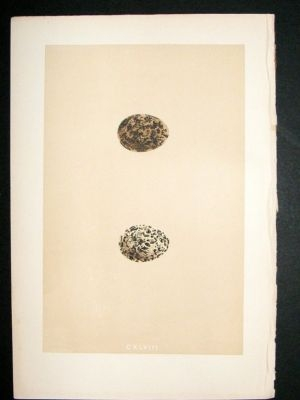 Antique Bird Egg Print 1875 Pranticole, Morris Hand Col