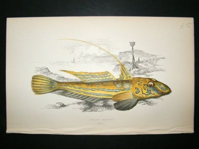 Antique Fish Print: 1869 Yellow Skulpin, Couch
