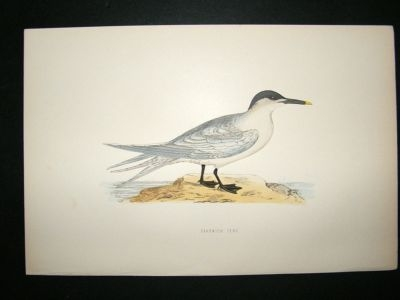 Antique Bird Print: 1891 Sandwich Tern, Morris, hand coloured