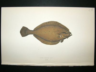 Antique Fish Print: 1869 Long Rough Dab, Couch