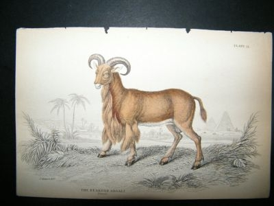 Antique Sheep, Bearded Argali: C1840 Hand Col Print, Jardine
