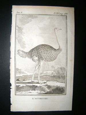 Antique Bird Print: 1770 Ostrich, Buffon Copper Plate