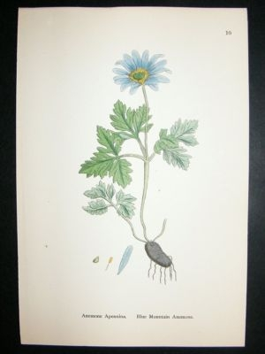Antique Botanical Print 1899 Blue Mountain Anemone, Sowerby Han