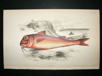 Antique Fish Print: 1869 Red Mullet, Couch