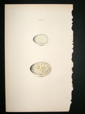 Antique Bird Egg Print 1846 Starling, Hand Col Hewitson