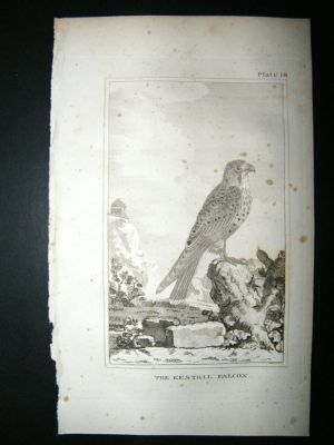 Antique Bird Print: 1812 Kestril Falcon, Buffon