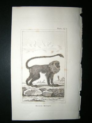 Antique Monkey Print: 1812 Maned, Buffon