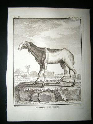 Antique Buffon: C1770 Sheep of India, Antique Print