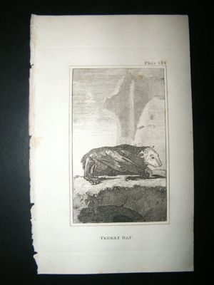 Antique Tebnat Bat: 1812 Copper Plate, Buffon Print