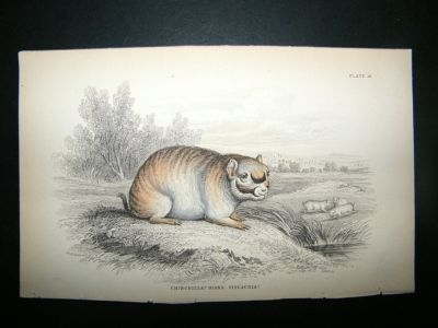 Antique Chinchilla: C1840 Hand Col Print, Jardine