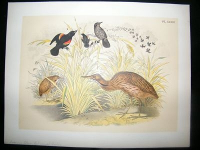 Antique Studer 1881 Folio Bird Print. American Bittern, Red Winged Starling