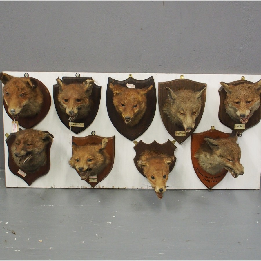Collection of Fox Head Taxidermy