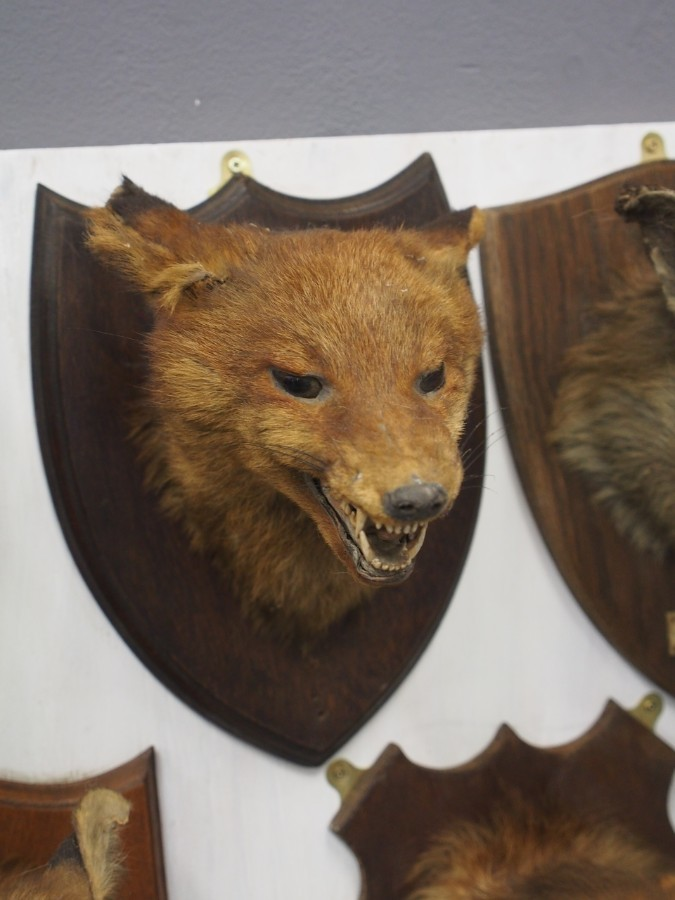 Antique Collection of Fox Head Taxidermy