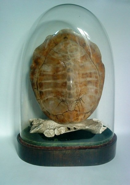 Blonde Turtle Shell under Victorian Dome