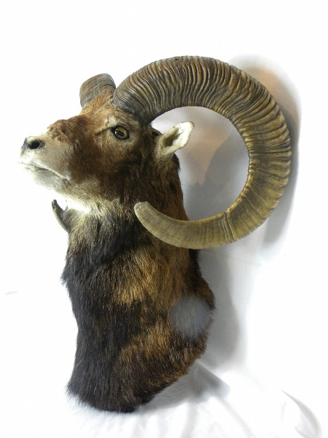 Antique A taxidermy head of a mountain sheep. - Item 3137