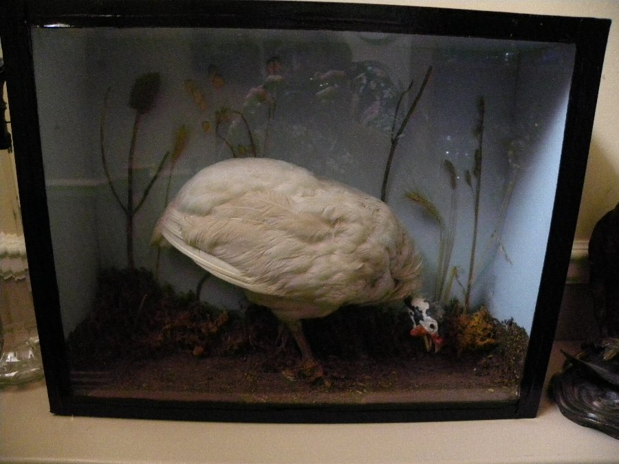 Cased Taxidermy of a Guinea Fowl - Item 3334