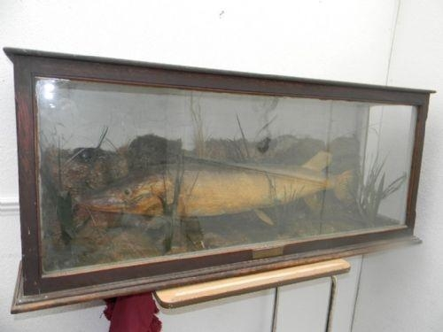 PIKE IN GLASS DISPLAY CABINET DATED 1918