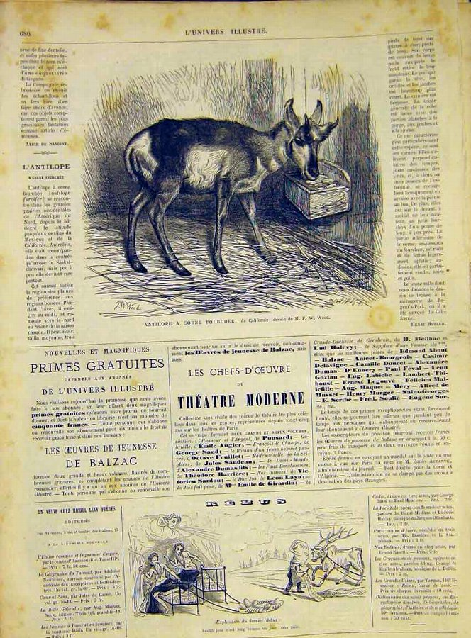 Print Antelope Deer Buck California French 1868 An
