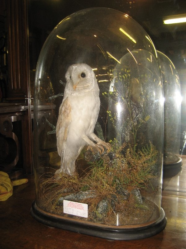 Barn Owl in a Dome