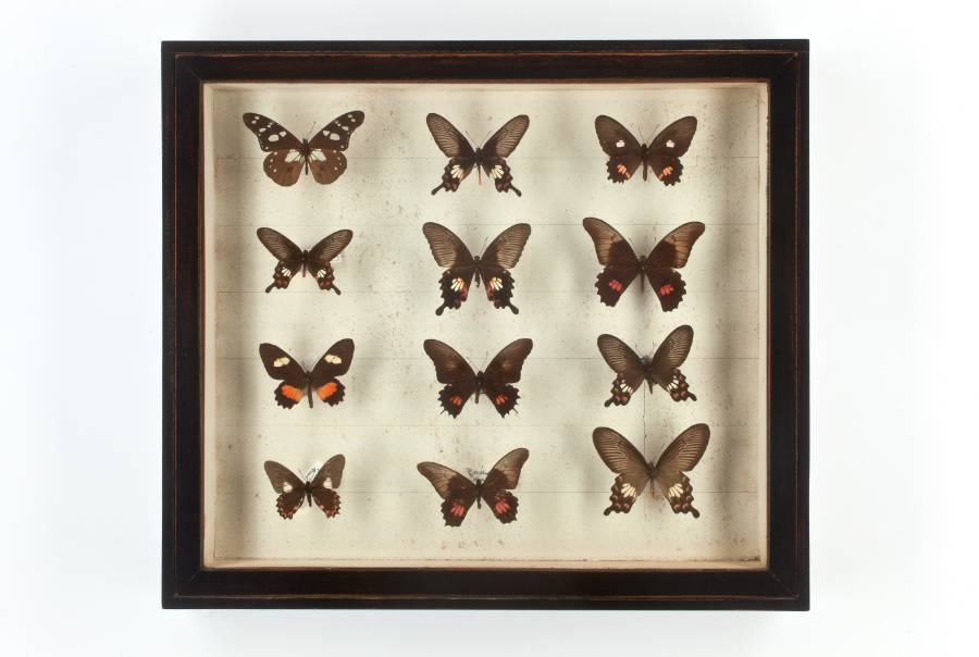 Antique Butterflies in Black Painted Cases