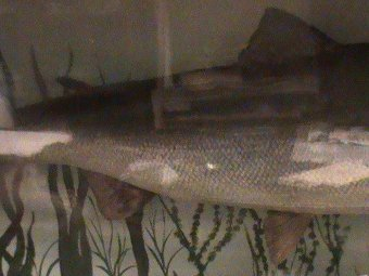 Antique Salmon taxidermy, Victorian