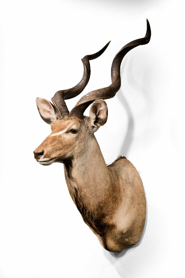 Early 20th Century Blackbuck Antelope Head