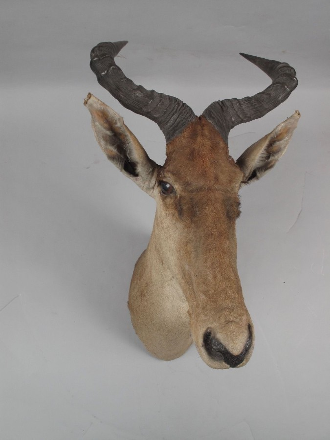 Very early Coke's Hartebeest dated 15 mar. 1909 Athi Plains (Kenya)