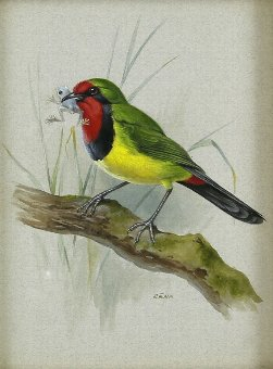 Antique Rena Fennessy, 'Doherty's Bush Shrike', watercolour and gouache, 24x 18cm