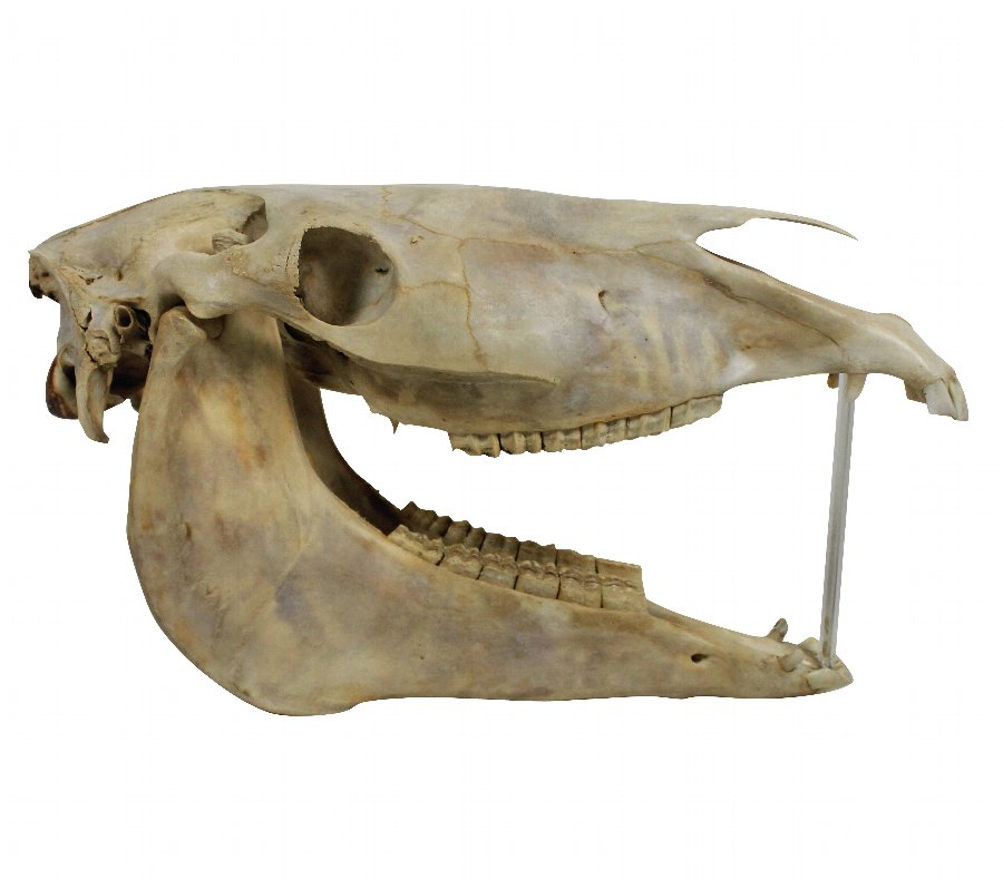 AN ANTIQUE HORSE SKULL