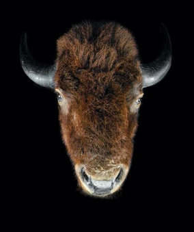 BISON HEAD MOUNT TAXIDERMY C. EARLY 20TH CENTURY