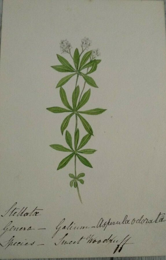 Antique Sweet Woodruff - English Wild Flowers - F. Hannen 1890 - 1910