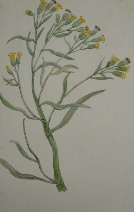 Antique Yellow flowers - English Wild Flowers - F. Hannen 1890 - 1910