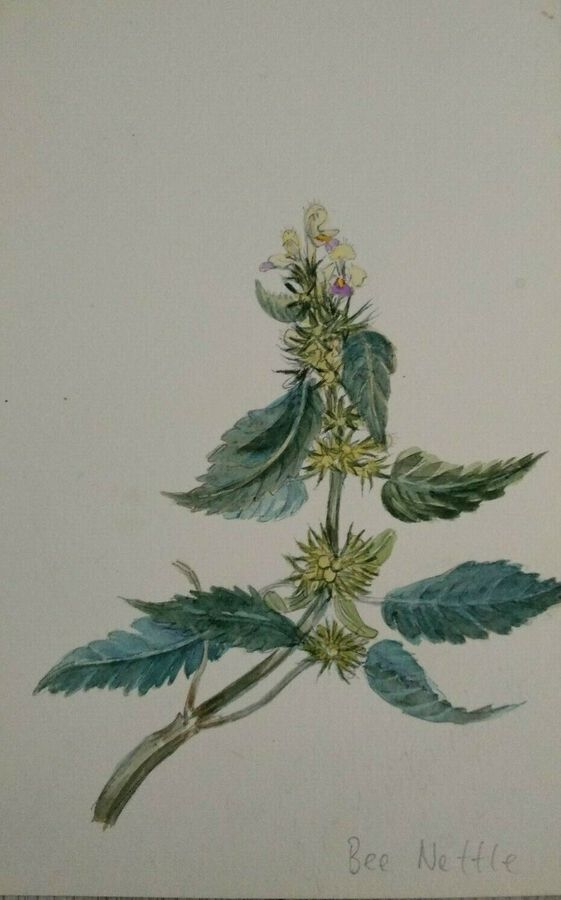 Antique Bee Nettle - English Wild Flowers - F. Hannen 1890 - 1910