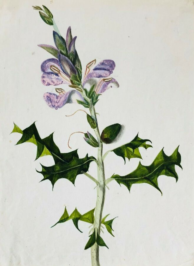 Antique Botanical Study, ca 1900, Watercolour,