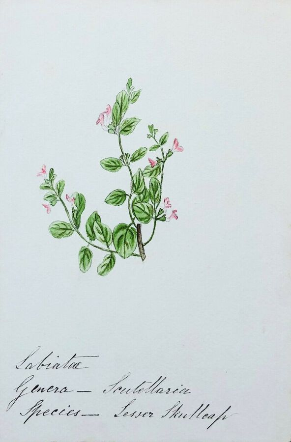 Antique Botanical Study, English Wild Flowers By F. Hannen (1890-1910) Act., Watercolour